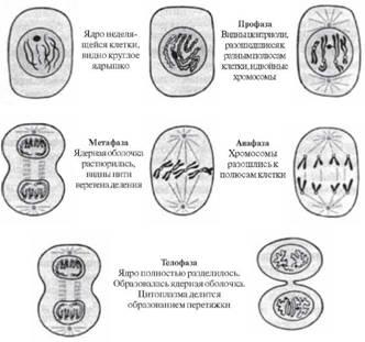 Карта сперматозойда под микроскопом метоз