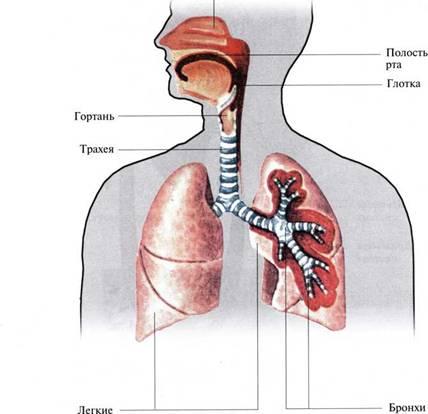 Рис. X. Органы дыхания (схема)