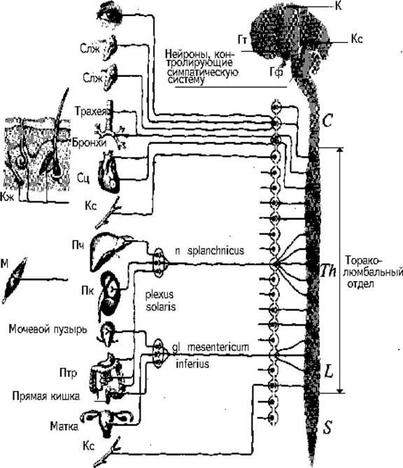 Часть Парасимпатическая Нервной Системы