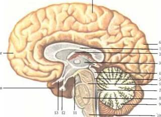фото мозг в разрезе