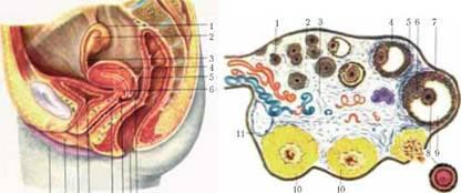 Женские половые органы внешние 64