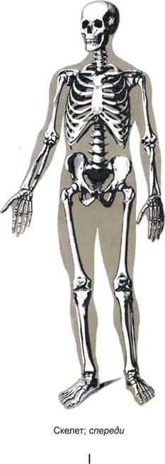 Скелет; сзади