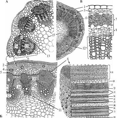 Примеры строения стеблей