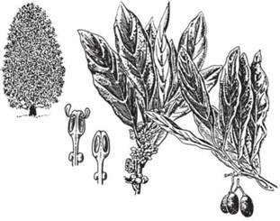Подкласс магнолииды — magnoliidae